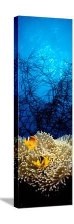 mat-anemone-and-allard-s-anemonefish-in-the-ocean