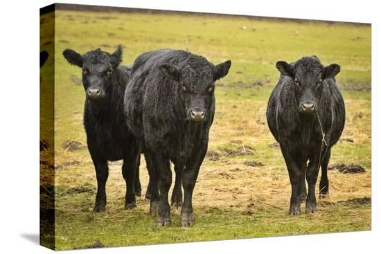 matt-freedman-skagit-valley-washington-state-cows-in-the-rain