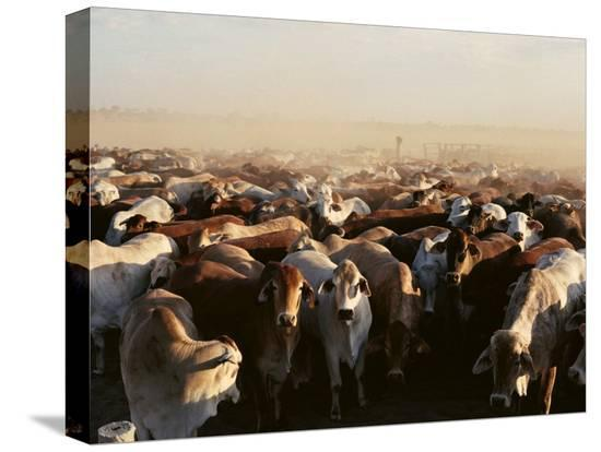 medford-taylor-brahman-cattle-are-herded-into-a-pen-on-a-simpson-desert-cattle-station