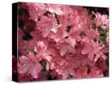 Close-Up of Azalea Flowers  Blaaws Pink  Taken in May in Devon  England