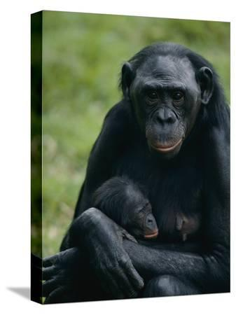 michael-nichols-a-mother-bonobo-holds-her-baby-at-the-san-diego-wild-animal-park