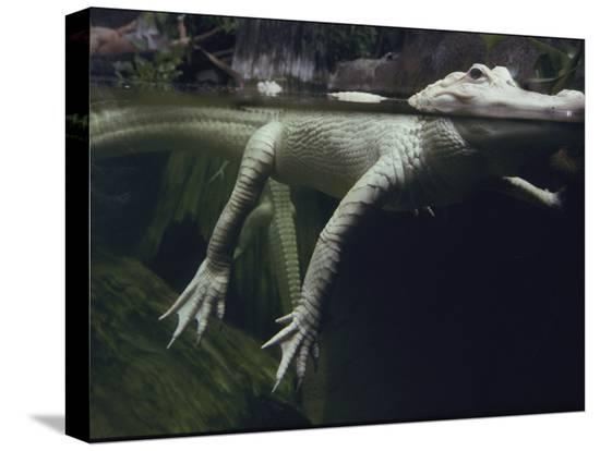 michael-nichols-a-rare-white-alligator-in-the-louisiana-swamp-exhibit