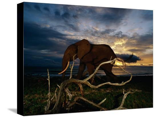 michael-nichols-an-african-elephant-loxodonta-africana-walking-along-the-beach