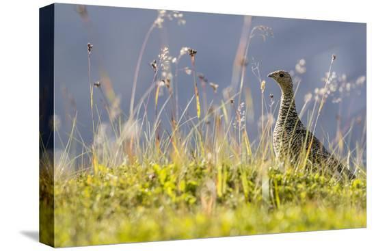 michael-nolan-an-adult-female-willow-ptarmigan-lagopus-lagopus-in-summer-plumage-on-the-snaefellsnes-peninsula