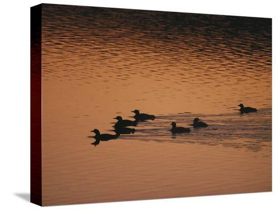 michael-s-quinton-a-group-of-common-loons-swims-across-a-lake-early-in-the-morning