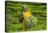 Tea Plantation in the Virunga Mountains  Rwanda  Africa