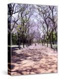 Jacarandas Trees Bloom in City Parks  Parque 3 de Febrero  Palermo  Buenos Aires  Argentina