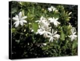 Jasmine Flowers in Bloom  Madagascar