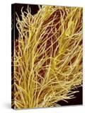Stamen of Oleander