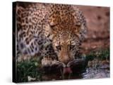 Leopard (Panthera Pardus) Drinking from Isiolo River  Eastern  Kenya