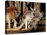 Male  Female and Joey Red Kangaroos (Macropus Rufus)  Australia