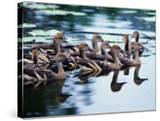 Plumed Whistling Ducks (Dendrocygna Eytoni)  Australia