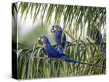 Brazil  Pantanal  Mato Grosso Do Sul Hyacinth Macaws Roosting in a Palm