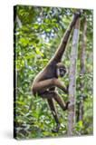 Indonesia  Central Kalimatan  Tanjung Puting National Park a Bornean White-Bearded Gibbon