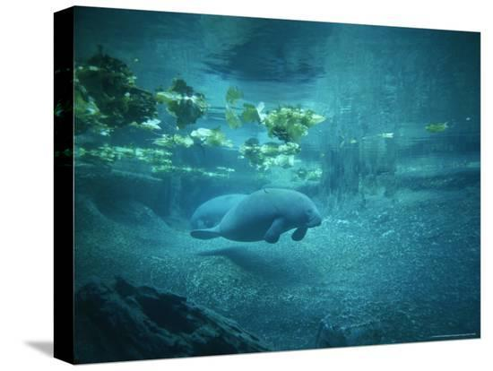 norbert-rosing-pair-of-manatees-swim-beneath-the-kelp