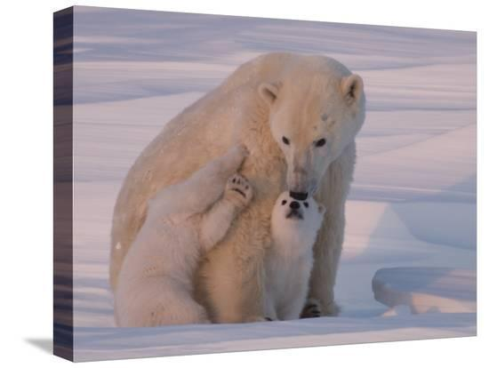 norbert-rosing-polar-bear-with-her-cubs-in-a-snowy-landscape-at-twilight