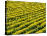 Field of Grapevines at Beckstoffer Vineyards  Napa Valley  California  USA