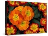 Orange Primroses Pattern  Washington  USA