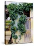 Grapevines Growing on House