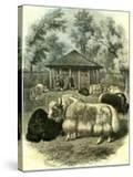 Paris Yaks 1854