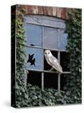 Barn Owl Sitting in Old Farm Window  Tyto Alba  Norfolk