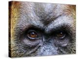 Close-Up of Female Orang-Utan  Gunung Leuser National Park
