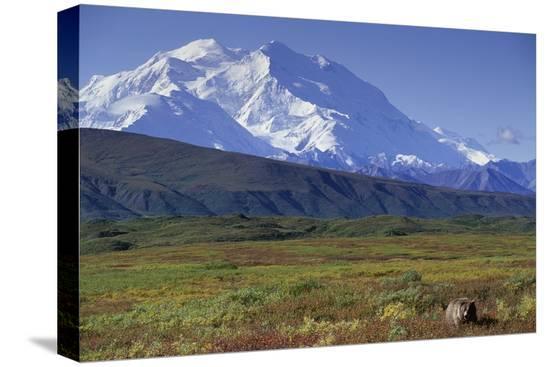 paul-souders-grizzly-bear-feeding-on-tundra-below-mt-mckinley