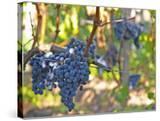 Ripe Bunches of Merlot Grapes  Chateau La Grave Figeac  Saint Emilion  Bordeaux  France