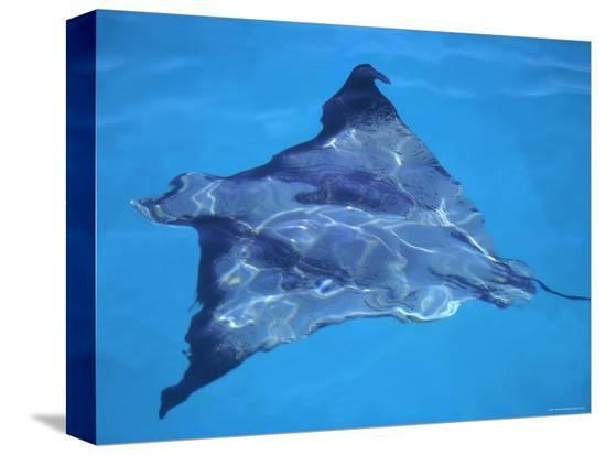 pete-oxford-spotted-eagle-ray-from-above-tower-genovesa-is-galapagos