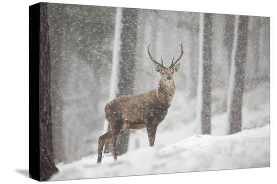 peter-cairns-red-deer-cervus-elaphus-in-heavy-snowfall-cairngorms-national-park-scotland-march-2012