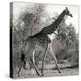 Awesome South Africa Collection Square - Giraffe Profile B&W