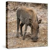 Awesome South Africa Collection Square - Warthog