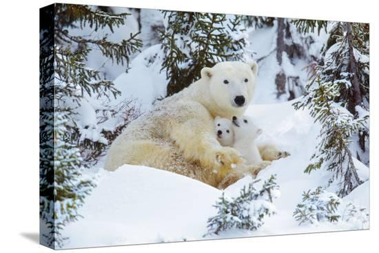 polar-bear-huddled-in-snow-with-two-cubs