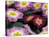 Purple Primrose  Washington  USA