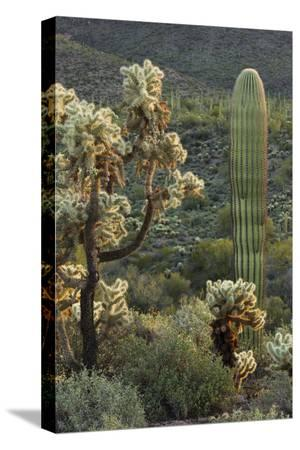 rainer-mirau-carnegiea-gigantea-saguaro-cacti-hieroglyphic-trail-lost-dutchman-state-park-arizona-usa