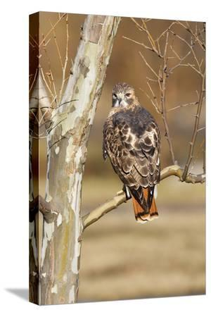 red-tailed-hawk-adult