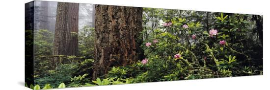 redwoods-and-rhododendrons-at-prairie-creek-redwood-state-park-california-usa