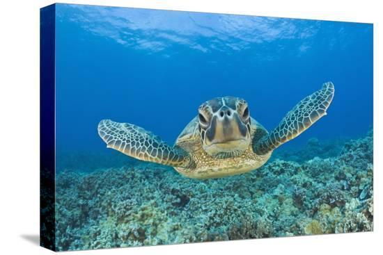 reinhard-dirscherl-green-turtle-chelonia-mydas-maui-hawaii-usa