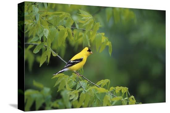 richard-and-susan-day-american-goldfinch-male-in-common-hackberry-tree-marion-il