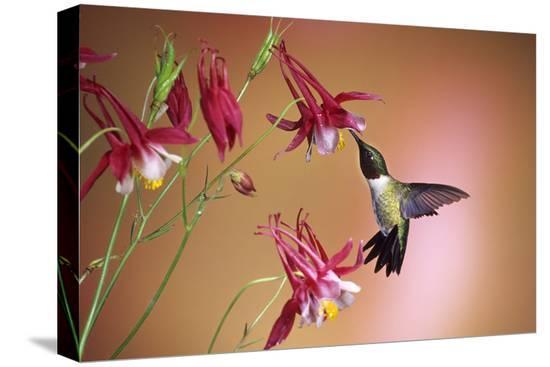 richard-and-susan-day-ruby-throated-hummingbird-male-on-crimson-star-columbine-illinois