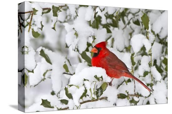 richard-ans-susan-day-northern-cardinal-in-american-holly-in-winter-marion-illinois-usa