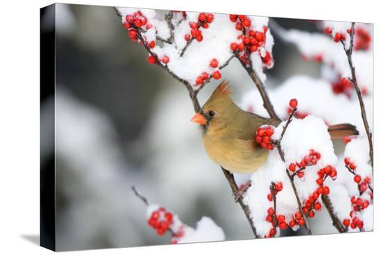 richard-ans-susan-day-northern-cardinal-in-common-winterberry-marion-illinois-usa