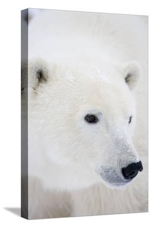 richard-ans-susan-day-polar-bear-churchill-mb-canada