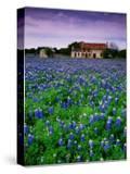 Field of Blubonnets  Marble Hill Area  Texas