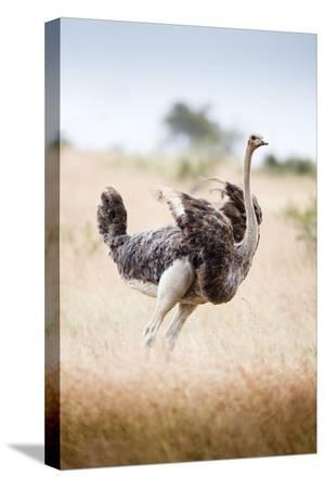 richard-du-toit-ostrich-female