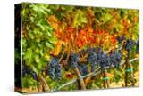 Cabernet Sauvignon Grapes Ready for Harvest  Washington  USA