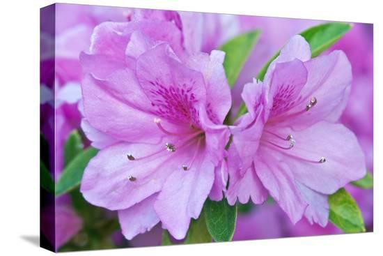 rob-tilley-azalea-flower