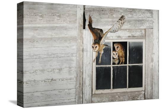 rolf-nussbaumer-barn-owl-tyto-alba