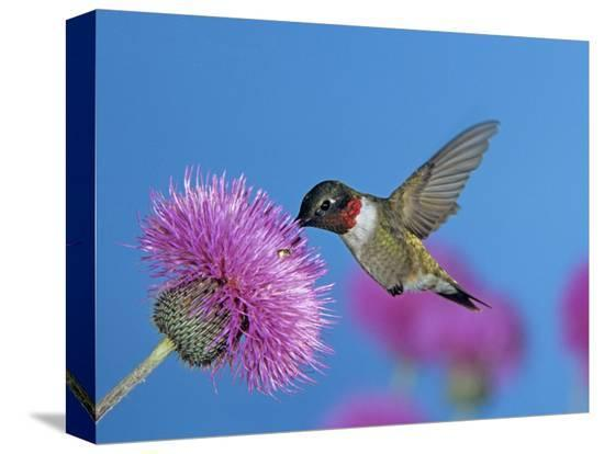 rolf-nussbaumer-ruby-throated-hummingbird-feeding-from-flower-usa