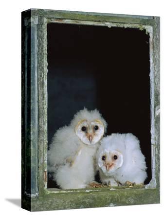 ross-hoddinott-barn-owl-chicks-in-window-cornwall-uk